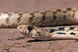 rattlesnake striking at camera. Perfect Rattlesnake This Bullsnake Was Basking On A Dirt Road Trying To Warm Up After Chilly In Rattlesnake Striking At Camera S