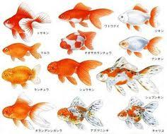 Fantail Goldfish Growth Chart 100 Best Golgfish Images Goldfish Aquarium Fish
