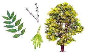 Tree Leaf Identification Chart A Simple Guide To Identifying British Trees Country Life