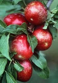 Plum TreesPlum Fruit Tree Varieties