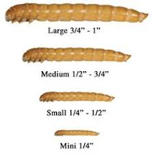 Mealworm Size Chart 27 Best Mealworms Images Meal Worms Life Cycles Meal