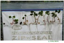 How To Germinate Flower Seeds Paper Towel Growing Seeds In A Plastic Bag