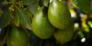 Hass Avocado Trees For Sale  Fast Growing TreesFruit Trees For Sale In Nc