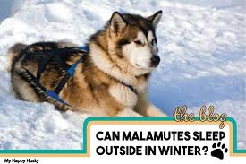 To know the best practices for how to keep a dog house warm in the winter, you need to understand your dog. Can Alaskan Malamutes Sleep Outside In Winter Top Advice My Happy Husky