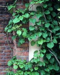 5 FastClimbing Vines For Your Garden  Plants Gardens And 30thWall Climbing Plants Names