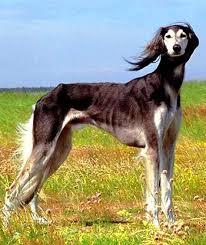 saluki dog. saluki temperament and personality dog d
