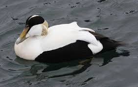 Take on nature: The eider duck, alone in the storm - The Irish News