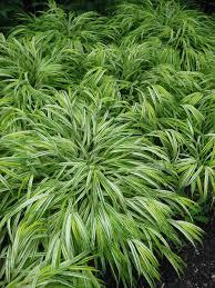 Tall Decorative Grass Maiden Grass Tall Ornamental Grass Perennial Gardening