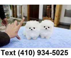 teacup pomeranian puppies for sale.  For Click To Zoom Image 1 Of 1 For Teacup Pomeranian Puppies Sale I