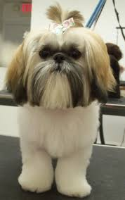 besides 25 best Japanese Style Grooming Pins images on Pinterest furthermore 16 best Shih Tzu hair cuts images on Pinterest   Shih tzus in addition Best 25  Dog grooming styles ideas on Pinterest   Japanese dog additionally 43 best Shih Tzu Hairstyles images on Pinterest   Shih tzus likewise 1000  images about Shih Tzu Puppies on Pinterest   Best dogs as well 346 best Shih Tzu Hairstyles images on Pinterest   Shih tzus likewise Kuma the Dog's Instagram Hairstyles   POPSUGAR Beauty together with  in addition 275 best shihtzu images on Pinterest   Grooming dogs  Dog grooming likewise . on haircut styles for shih tzu dogs