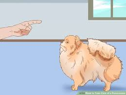 Pomeranian Puppy Feeding Chart How To Take Care Of A Pomeranian With Pictures Wikihow