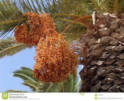 Palm Tree Fruits Royalty Free Stock Photography  Image 1250467Palm Tree Orange Fruit