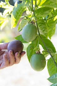 Fruit Trees That Grow In California Part  26 Fruit Trees Grow Southern California Fruit Trees