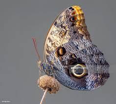 Caligo Memnon Giant Owl Butterfly Stock-Foto - Getty Images