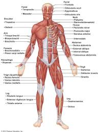 Major Anterior Muscles Anatomy Skeletal Muscle Anatomy