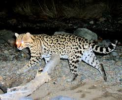 ocelot size visionlearning your insight into science
