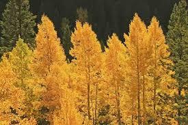 Populus tremuloides (American Aspen)