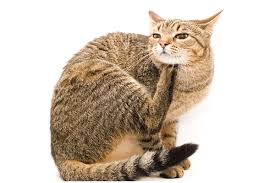 what is prednisone for cats and what