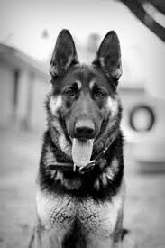 black and white german shepherd photography. Interesting White Great Black And White Photograph Of A Handsome German Shepard I Grew Up  With These To Black And White Shepherd Photography