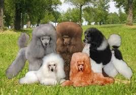 Poodle Colors Toy Miniature And Standard Poodle Colors