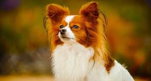 Papillon Growth Chart Papillon Dog Information Center A Complete Guide To A