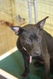 Jewett City, CT - Pit Bull Terrier. Meet Dixie Pate a Pet for ...