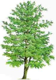 Image result for alder tree