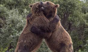 two bears hugging