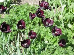 黒いチューリップ - ジージのドイツ花便り