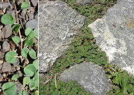 Dichondra micrantha Urb. - Sistema informativo sulla flora vascolare ...