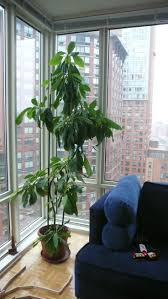 Growing an avocado tree from seed?