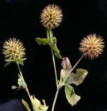 Trifolium lappaceum L. | Flora of Israel Online