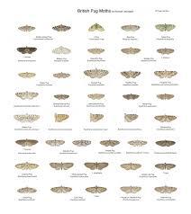 Moth Identification Chart Richard Lewington