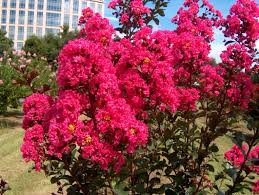 Crape Myrtle Colors Chart How When To Properly Fertilize You Crape Myrtle The