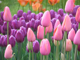 Image result for tulip pictures
