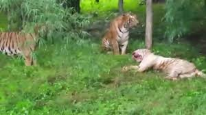 Russian zookeeper mauled by TIGER in front of shocked crowds ...