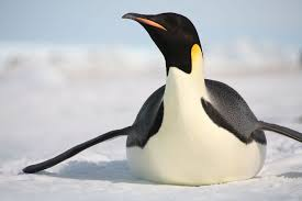real emperor penguin. Wonderful Real Emperor Penguin Sliding On Ice  With Real R