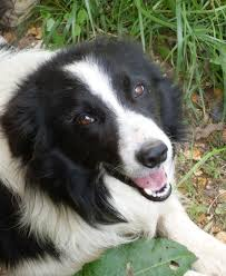 Image result for border collie photos free