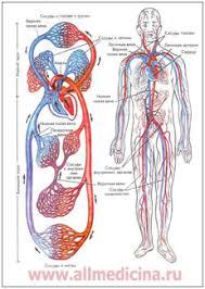 Анатомия человека Дыхательная пищеварительная и нервная системы дыхательная пищеварительная и нервная системы