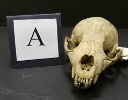 Small Animal Skull Identification Chart Bbc Nature Uk Unsprung Animal Skull Quiz