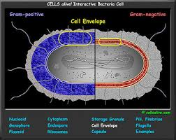 Bacteria Animal And Plant Cell Venn Diagram Interactive Cell Models