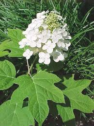 when to trim hydrangeas depends on the