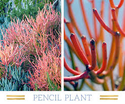 desert plants with names.  Names Pencilplant Intended Desert Plants With Names I