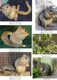 Baby Raccoon Age Chart Care For Baby Squirrels Eastern Gray Fox The Arc