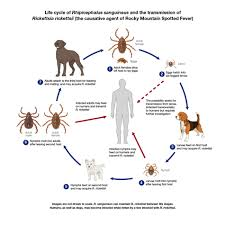 Cdc Tick Identification Chart How Ticks Spread Disease Ticks Cdc