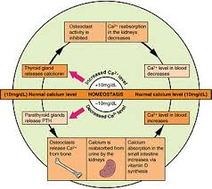 What Is Homeostasis In Biology Homeostasis Wikipedia