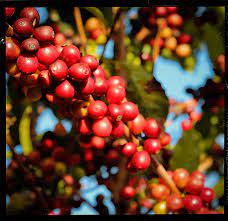 The coffee growing business in myanmar is expensive to get involved in, tricky to manage and faces the strong challenge of opium being an easy alternative to. Keep Coffee Beans Fresh At Home Batdorf Bronson Coffee Roasters