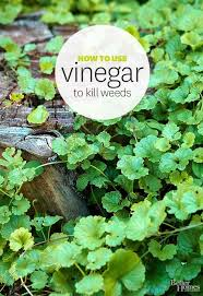 how to kill weeds in garden. rid your garden of weeds with all-natural vinegar! learn how here: http to kill in a