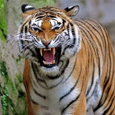 tiger face growling. Beautiful Face Closeup Of A Tiger Growling  Free Stock Photo And Tiger Face Growling A