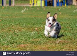 Corgi Dog Running High Resolution Stock ...